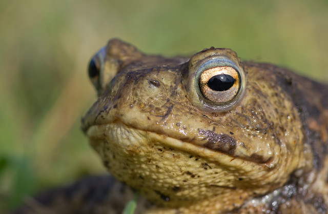 common toad close up