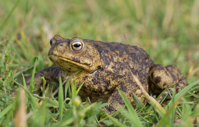 common toad 2