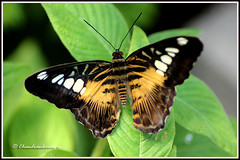 1523 bf_11736 -Brown clipper butterfly (chandrasekaran a 546k + views .Thanks to visits) Tags: macro nature butterfly massachusetts insects tamron90mm parthenos brownclipper canon60d stunningphotogpin best4gpin bestphoto4gpinaug2011