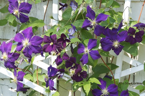 Clematis is so beautiful.
