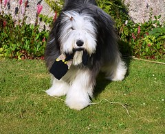 Oh and socks! (Fee- fo) Tags: toy cuddly pup beardedcollie osmart invercoyle