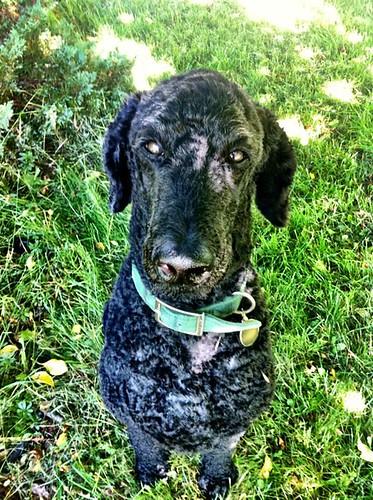 Shade-dappled poodle