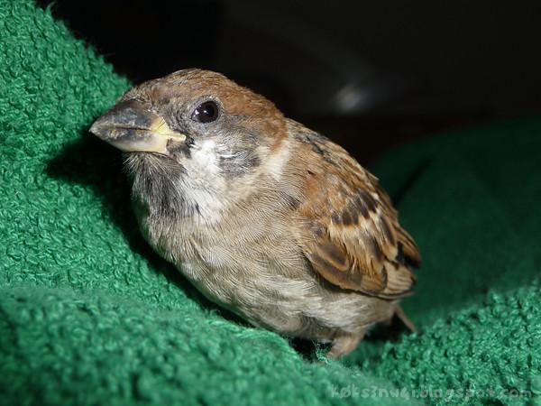 Sparrow Rescue 2