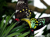 It Works for Them (NTFlicker) Tags: butterflies mating cairns birdwing nikoncoolpix8800