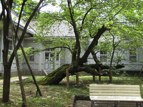 Venerable tree at the Gakushuin University Museum of History