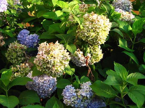 the hydrangeas are ready to pick for dried bouquets