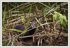 10072011-IMG_2500 (Frantzk) Tags: france alsace mammals mammalia carnivores selestat basrhin carnivora polecat mustelidae mammifères mustelaputorius illwald mustelidés putoisdeurope