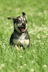 Cartoon Boy (miss_n_arrow) Tags: dog pups puppies husky exercise cartoon canine run yukon pup alaskan