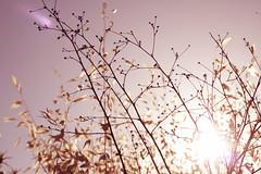 July Eleventh. (redaleka) Tags: light sunset wild plants sun nature silhouette purple dusk violet dry flare hay goolden julyeleventh threehundredsixty