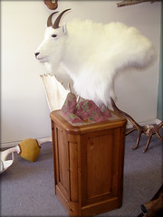 "Mountain Goat Taxidermy • <a style=""font-size:0.8em;"" href=""http://www.flickr.com/photos/27376150@N03/5930165347/"" target=""_blank"">View on Flickr</a>"
