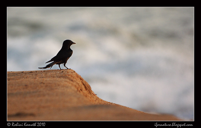 Drongo on the Beach