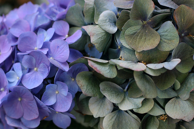 Hydrangea, old bloom and new.