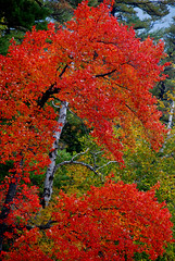 First Love (hectic skeptic (Gone Until mid-September. On The R) Tags: trees red orange ny fall yellow fallcolors adirondacks upstatenewyork colorfulleaves