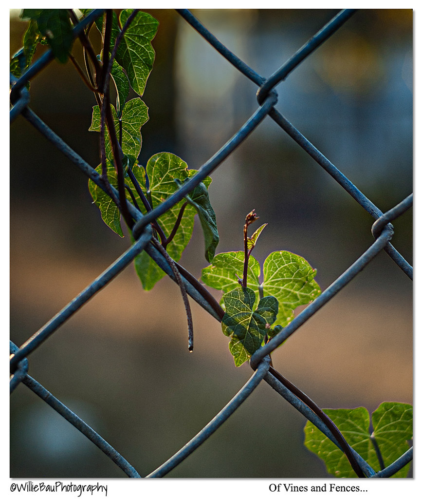 Of Vines and Fences...