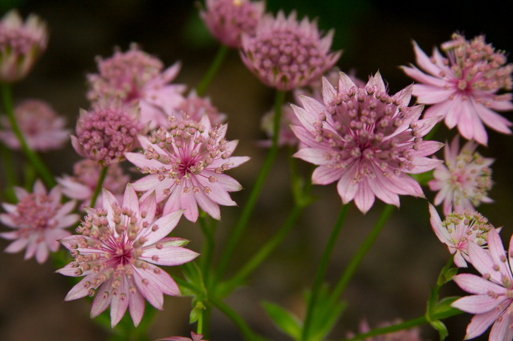 astrantia major roma  399