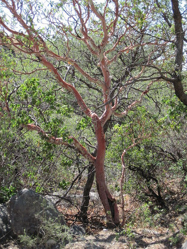 Picture of the Texas Madrone Tree