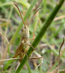 Grasshopper (Photospool) Tags: macro green nature face grass closeup insect eyes funny july somerset heath grasshopper hopper antenna shapwick 2011