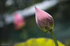 Lotus bud (e.nhan) Tags: life pink light art nature closeup colours dof lotus bokeh backlighting enhan