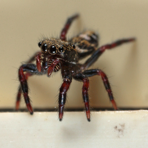 20110712_193725_jumpingspider