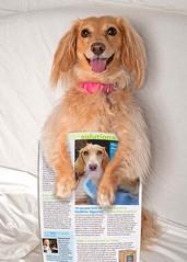 Honey's published! (again) (Doxieone) Tags: dog photoshop magazine photo published dachshund