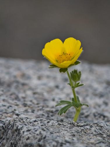 blomma, gul, fingerört, potentilla, gissning