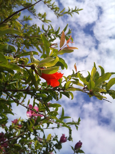 a pomegranate flower