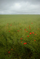poppy field (.FuturePresent.) Tags: uk red summer england flower nature field rural countryside spring flora britain united country kingdom dorset future poppy present claudia gabriela marques plain wimborne vieira milllane unit10 futurepresent claudiavieira claudiagabrielamarquesvieira uniti0