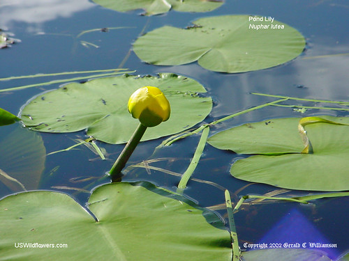 Yellow Pond Lily - Nuphar lutea