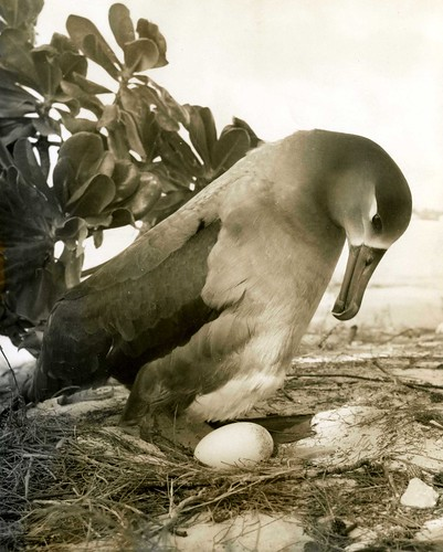 Black-footed albatross with egg, Midway Island, circa 1961-1973.