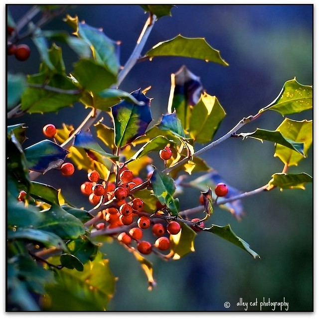 American Holly Redux