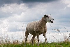 Blatend schaap - Bleating sheep (RuudMorijn) Tags: summer portrait sky white cute green wool nature netherlands beautiful dutch field grass animal closeup female clouds rural standing mouth fur mammal outdoors one countryside spring alone open looking view shot sheep natural outdoor head farm background country farming young adorable wolken scene domestic single gras agriculture dijk calling livestock een brabant speaking alleen noordbrabant luchten brabants schaap hoog kijkend hollandse bleating zwaarbewolkt dblringexcellence blatend