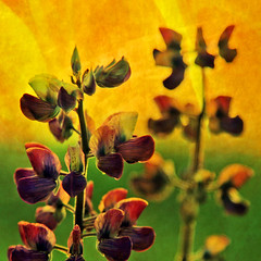 heavenly wildflowers (1crzqbn~away) Tags: sunset color texture nature square bokeh naturallight 7d ie legacy shining hss cityart alpinelupine coth artdigital idream bej memoriesbook awardtree magicunicornverybest magicunicornmasterpiece trolledproud sbfmasterpiece fleursetpaysages exoticimage 1crzqbn pscs5 persephonesgarden sliderssunday bestofshining netartii heavenlywildflowers