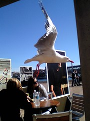 Seagull at the tables outside the drama theater of the Sydney Opera House.