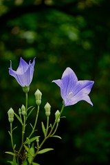 balloon flower (Yorkey&Rin) Tags: flower macro japan tokyo purple july g1 45mm rin balloonflower machida   2011 yakushiikekouen  p1100104