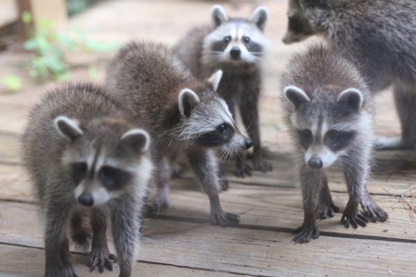 racoon_babies004