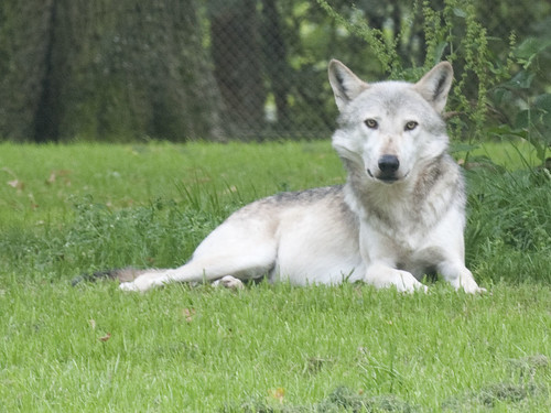 Canadian Timber Wolf by Jim Nicholson