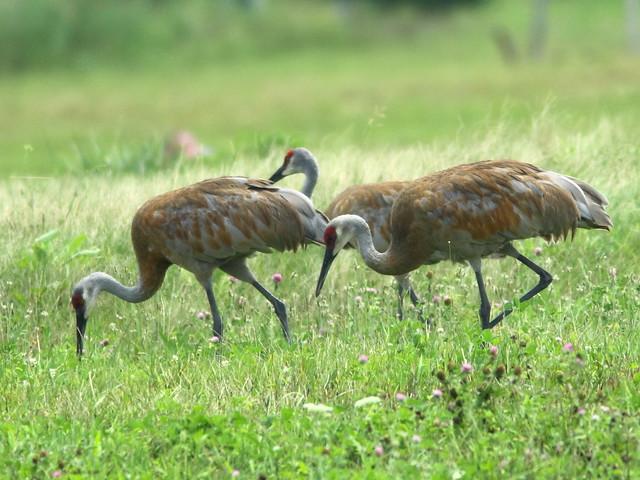 Sandhill Cranes 4-20110803