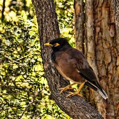 20110804 Indian Myna Bird (Degilbo on flickr) Tags: brisbane queensland canoneos500d lightroom3 365216 topazadjust spicify indianmynabird pjj365 mosaug11