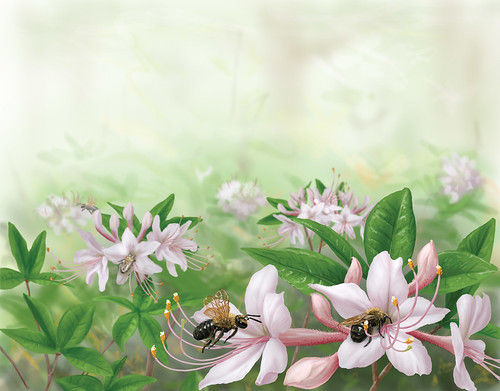 Female adrenid bees (Andrena cornelli) foraging for nectar on azalea (Rhododendron canescens).