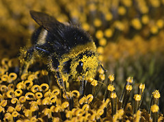 Bumble Bee (mrcheeky2009) Tags: macro insect raw bee bumblebee sunflower pollen sima 105mm