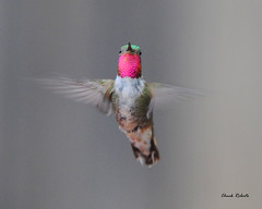 Broad-tailed Hummingbird male (colorob) Tags: colorado littleton broadtailedhummingbird selasphorusplatycercus coloradowildlife colorob