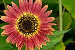 Aug022011_0934-Red-Sunflower (©Delos Johnson) Tags: flowers canon garden sunflower topaz delos g9 detail4 denoise