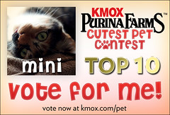 Mini is a finalist in the Cutest Pet Contest! (laurainlow) Tags: kitty mini top10 purinafarms kmox cutestpet petcontest