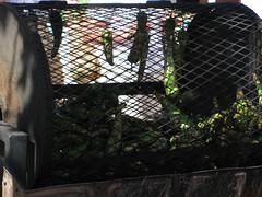 Roasting Chiles (Hildretha of Nidhil) Tags: chile usa newmexico santafe green farmers market