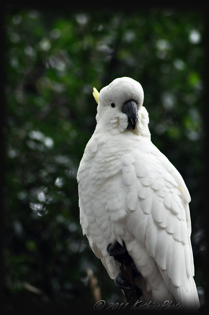 Sulphur-crested White Cockatoo