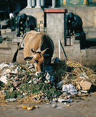 Recycling (bokage) Tags: india cow garbage recycling karnataka mysore