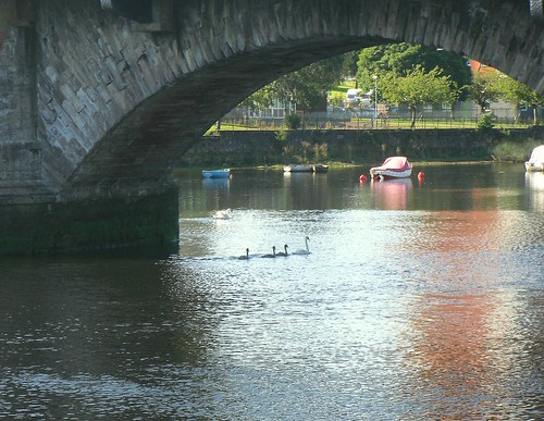 Swans in River Leven, Dumbarton
