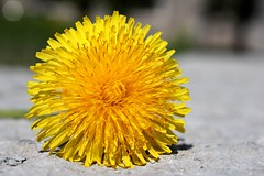 Tallinn Dandelion (zevzevzevzev) Tags: flower color yellow tallinn estonia dandelion bloom taraxacum taraxacumofficinale officinale