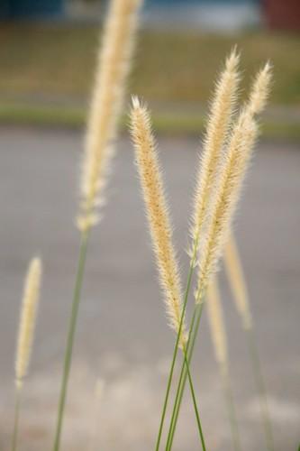 pennisetum macrourum  598