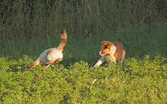 surprise-reciproque (A.S.Photosports) Tags: chien nature animal chats chat animaux et animale chiens siamois chienetchat siamoises vieanimale chatsnaturevie